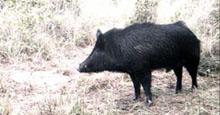 hog-killing
