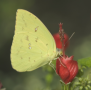 Cloudless Sulphur on Turk's Cap