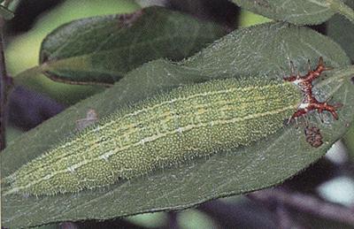 Tawny Emperor Caterpillar