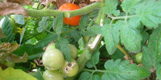 Photo of tomatoes in a garden