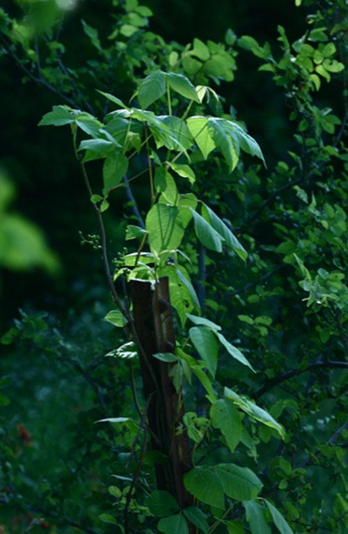 poison oak vine. Poison Ivy - Toxicodendron
