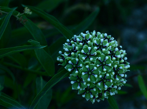 Green-flowered Milkweed