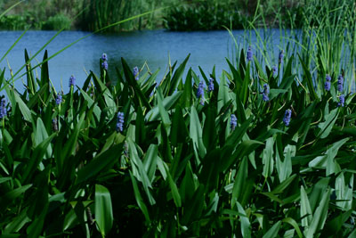 Pickerelweed 7-9-04
