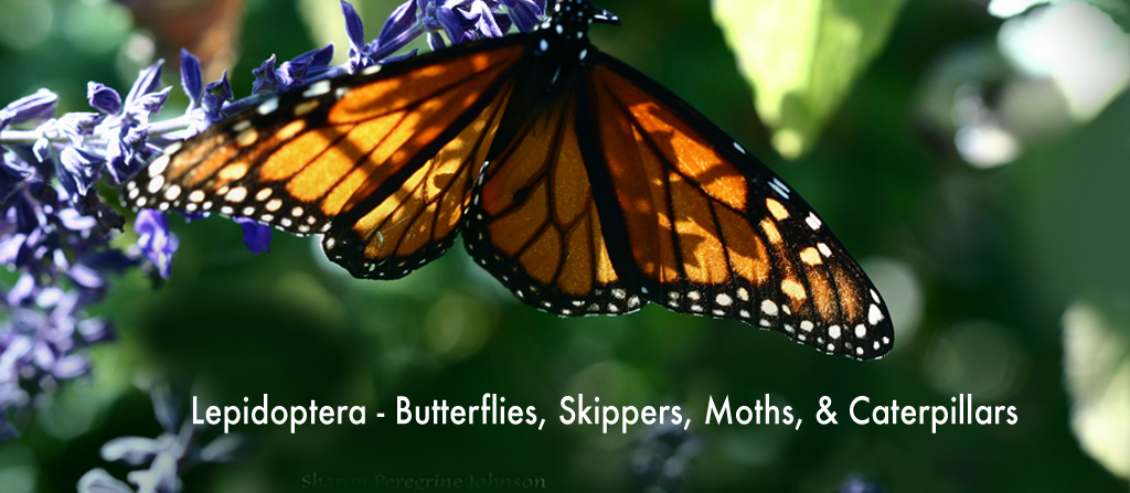 Learn more about Lepidoptera