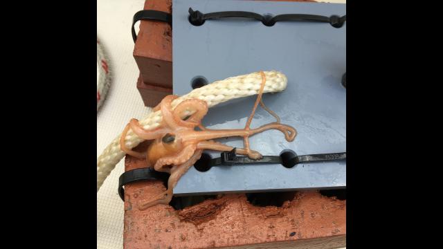 Kuehl Octopus