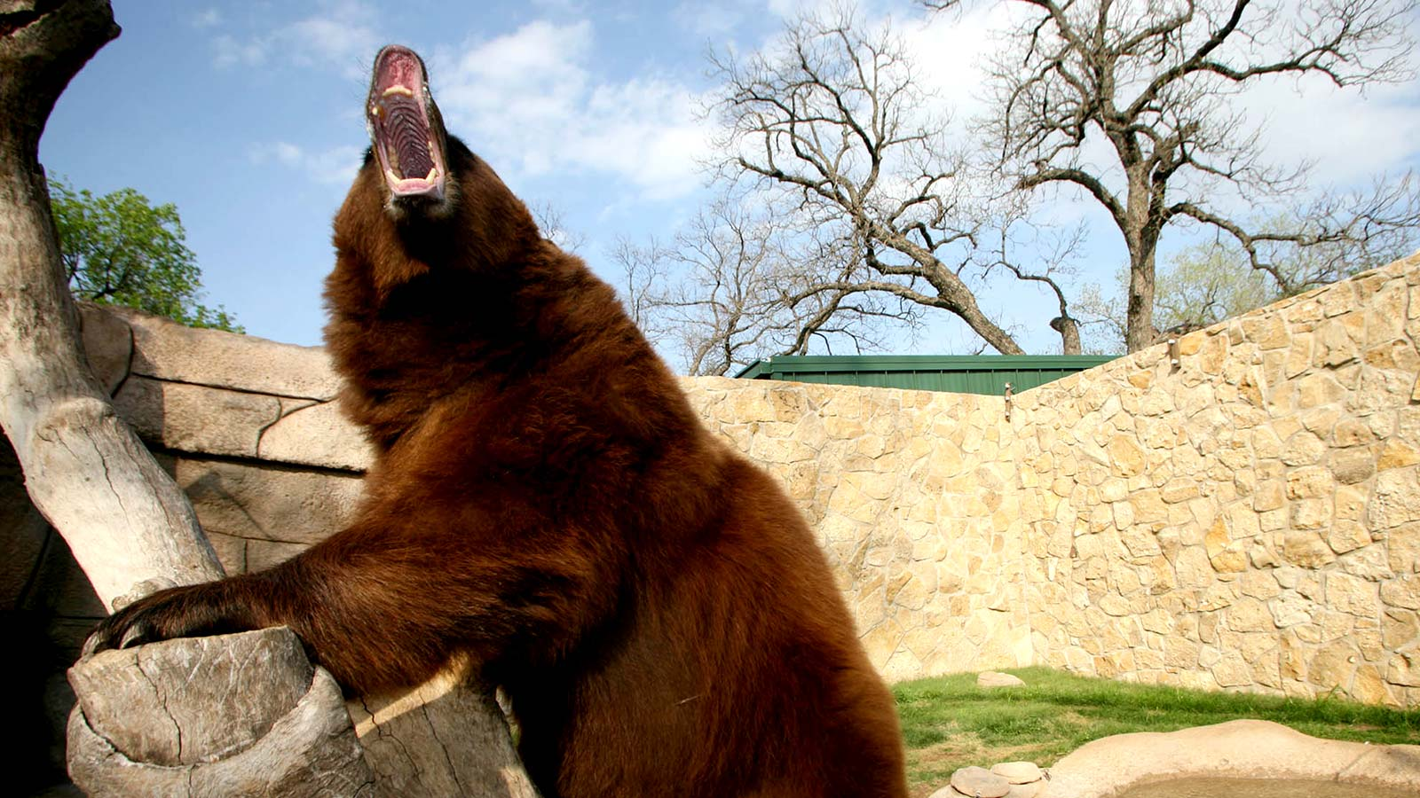 Students voted in 1914 to name the bear the official
