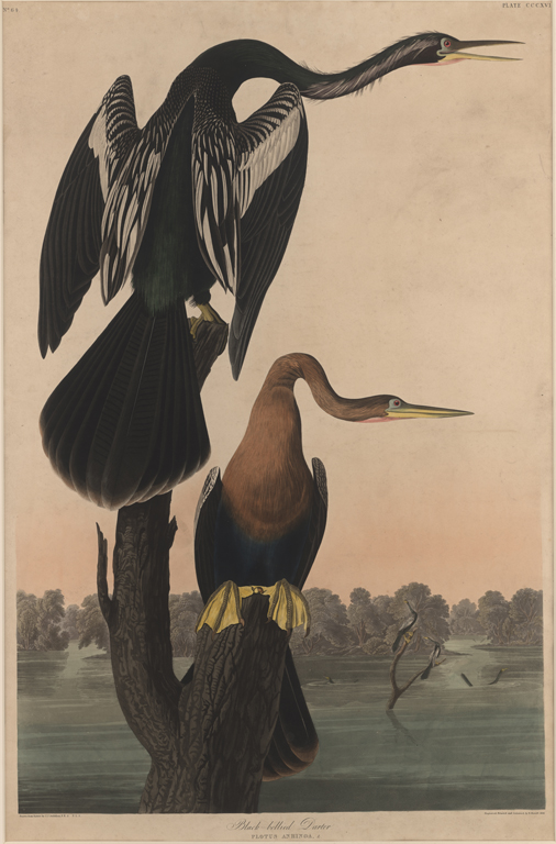 John James Audubon, Black-Bellied Darter, 1836