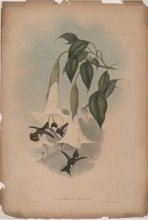 John Gould, Calothorax Mulsanti, 19th Century