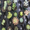The Victorian Cactus Craze? Succulents in Nineteenth-Century Poetry