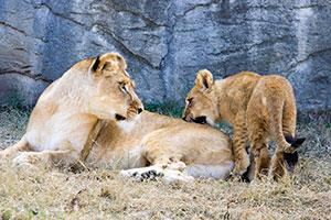 Cameron Park Zoo lions
