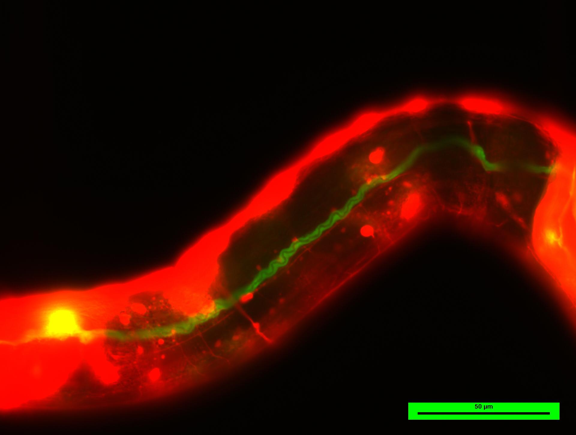 Nematode C. elegans.