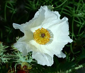 whitepricklypoppy1