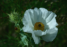 White Prickly Poppy (w x h, 0 KB)