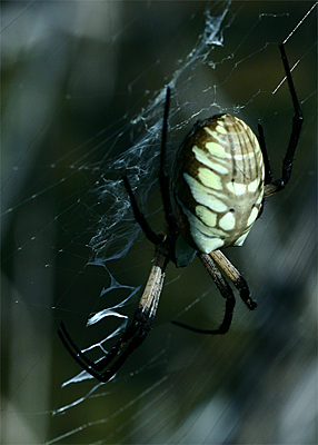 Yellow Garden Argiope