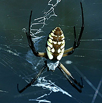 Yellow Garden Argiope2