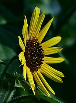 CommonSunflower