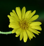 Hairy Yellow Aster