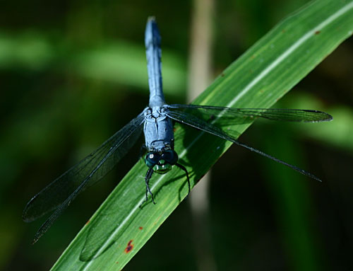 Bluedragonfly1