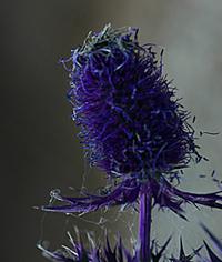 Leavenworth's Eryngium