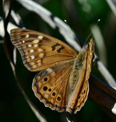 Tawny Emperor on Hackberry (Nectar & Host Plant for species).