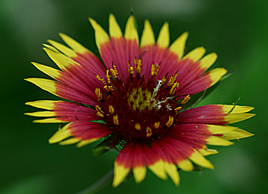 Indian Blanket/Gaillardia