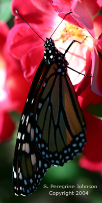 Male Monarch on Shrub Rose