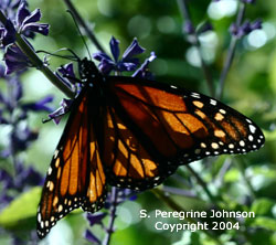 Monarch on Blue Sage
