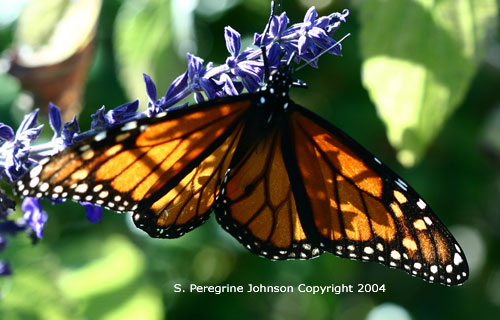 Male Monarch on Blue Sage