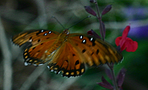 Gulf Fritillary on Autumn Sage.  Although this photo was taken near Lake Waco, Gulf Fritillary have been spotted at the Waco Wetlands. Photo Courtesy of Sharon Peregrine Johnson.