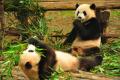 Two cute pandas