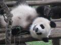 naughty panda